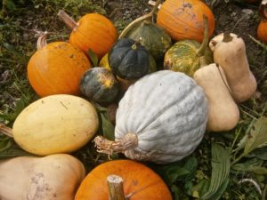 Pumpkins and gorges in the field