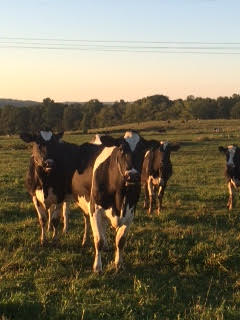 Moore family cows