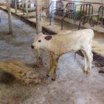 Newborn calf at Byebrook