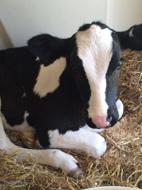 Byebrook calf
