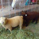 Baby sheep eating